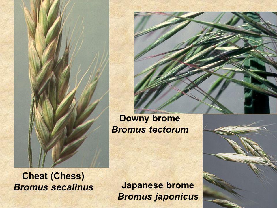 Cheat (Chess) Bromus secalinus Downy brome Bromus tectorum Japanese brome Bromus japonicus