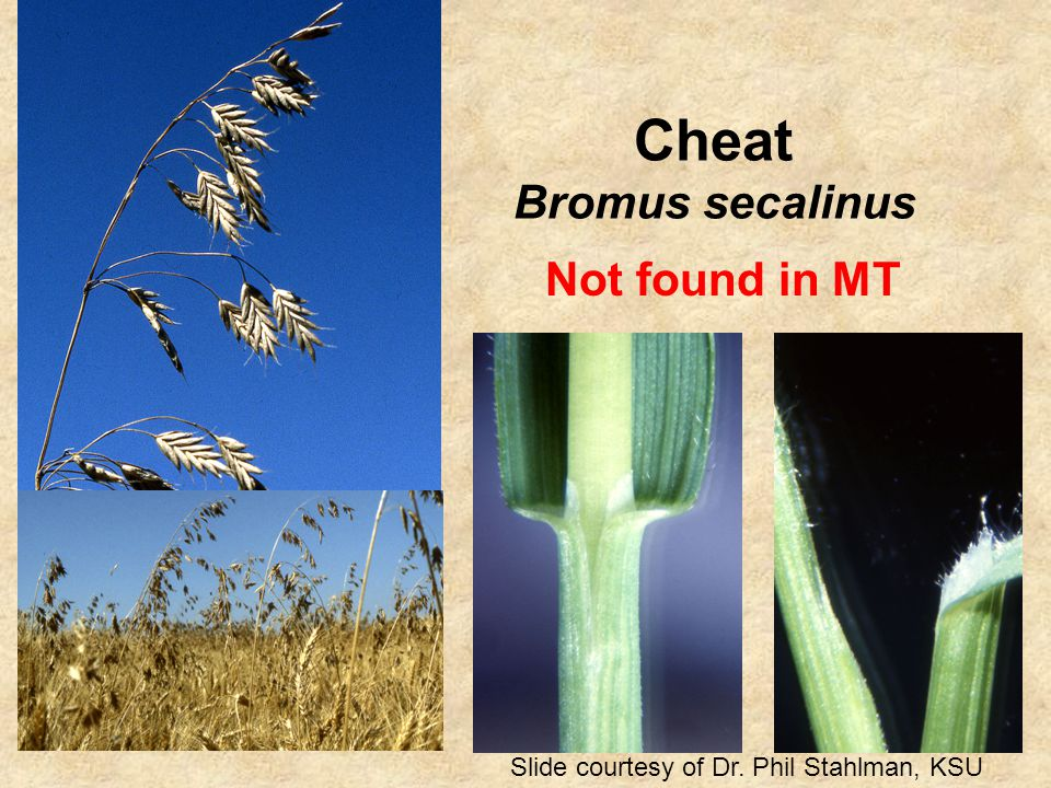 Cheat Bromus secalinus Slide courtesy of Dr. Phil Stahlman, KSU Not found in MT