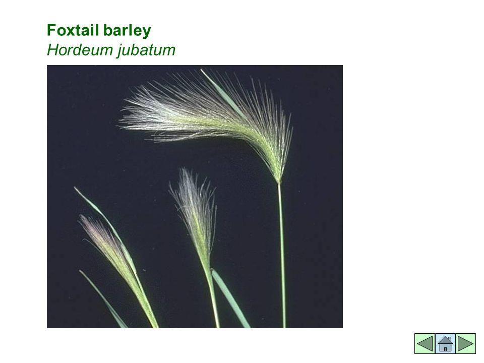 Foxtail barley Hordeum jubatum
