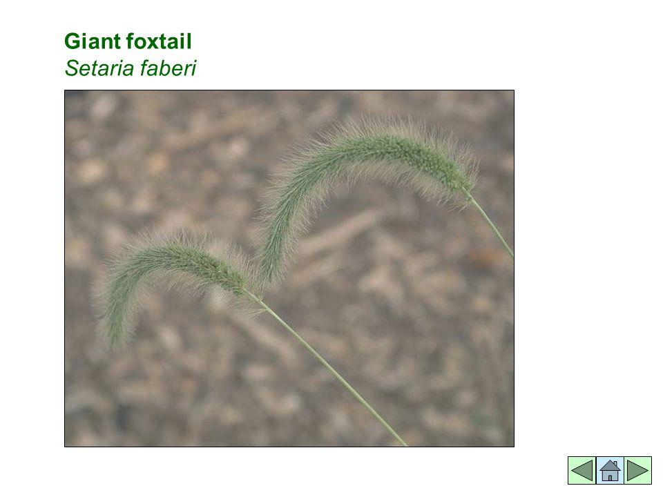 Giant foxtail Setaria faberi