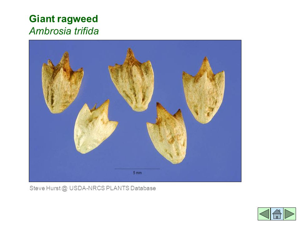 Giant ragweed Ambrosia trifida Steve Hurst @ USDA-NRCS PLANTS Database