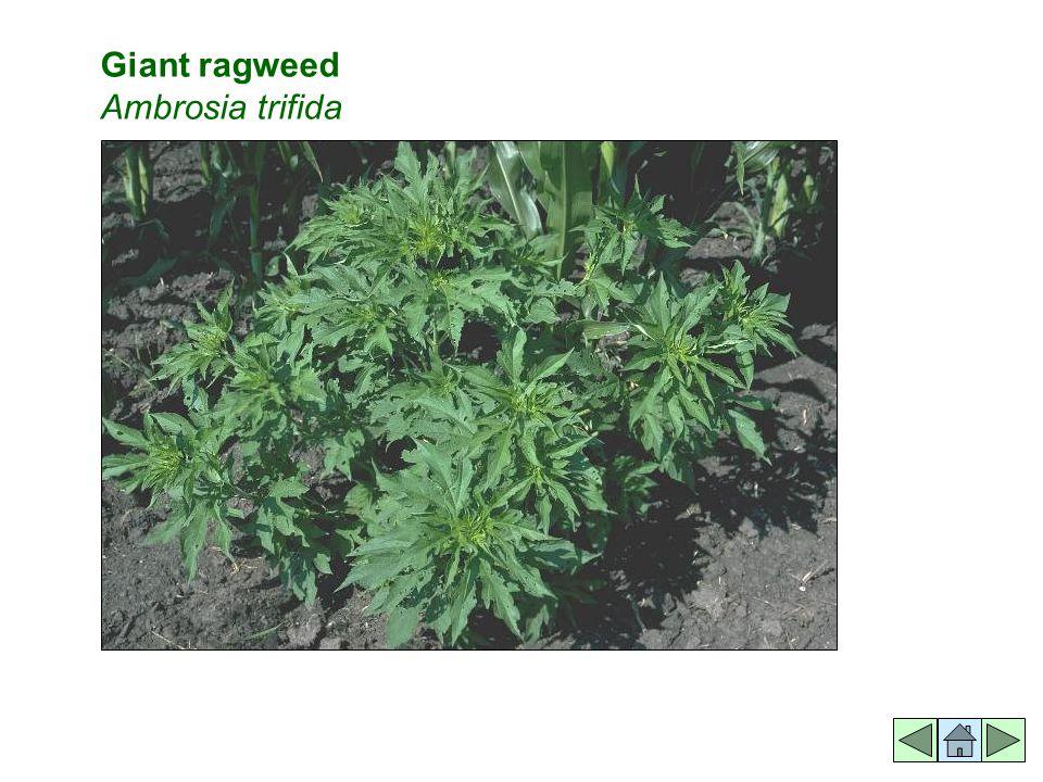 Giant ragweed Ambrosia trifida