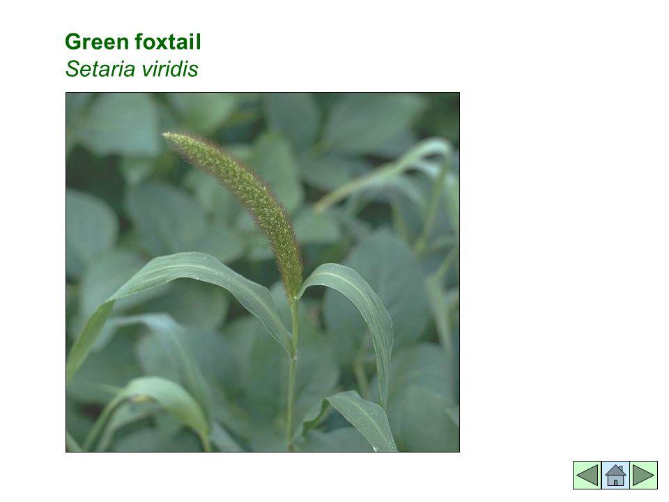 Green foxtail Setaria viridis