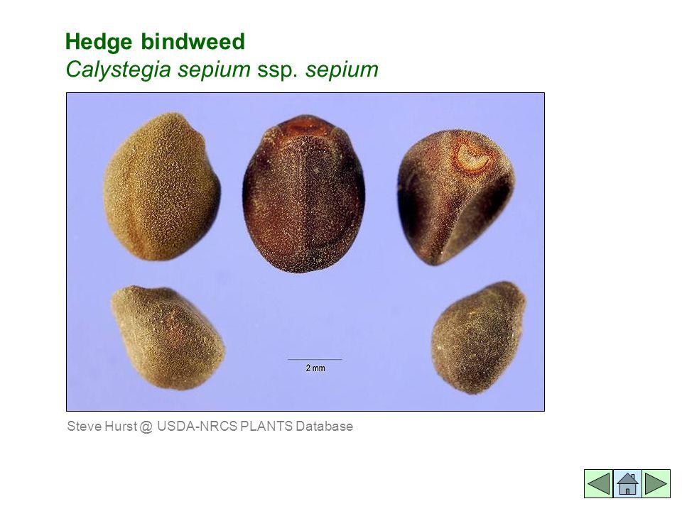 Hedge bindweed Calystegia sepium ssp. sepium Steve Hurst @ USDA-NRCS PLANTS Database