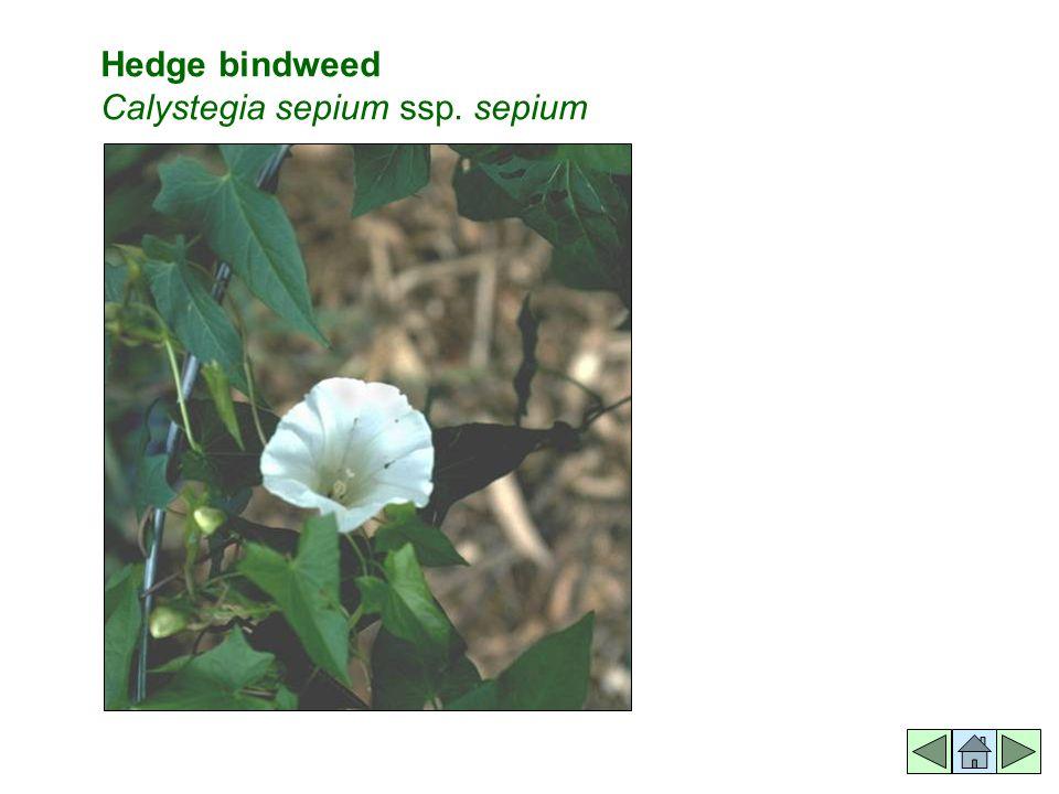 Hedge bindweed Calystegia sepium ssp. sepium
