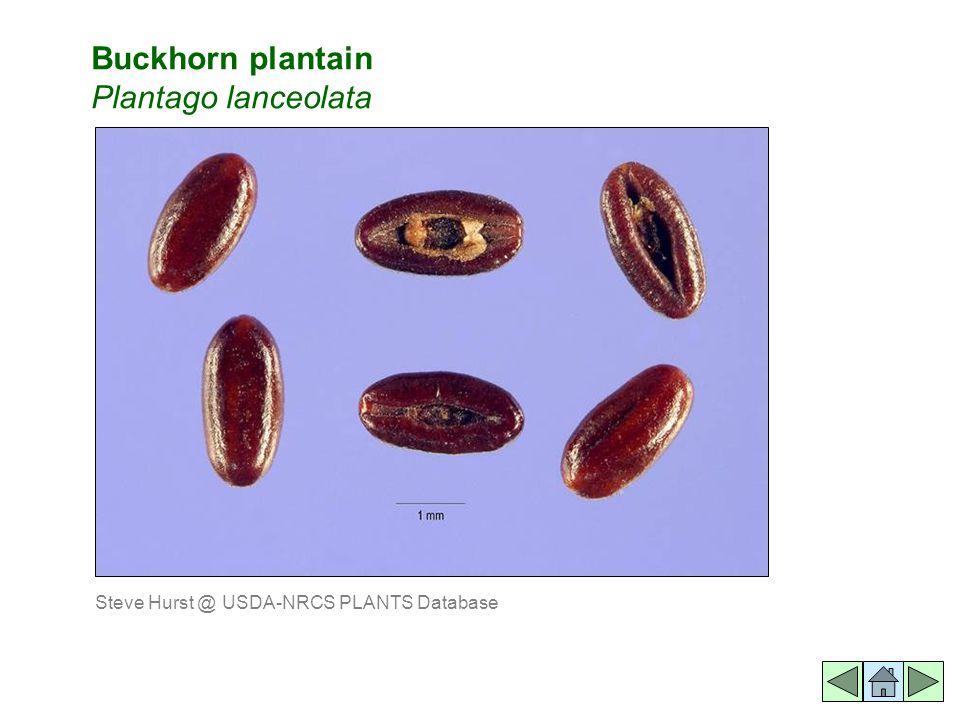 Buckhorn plantain Plantago lanceolata Steve Hurst @ USDA-NRCS PLANTS Database