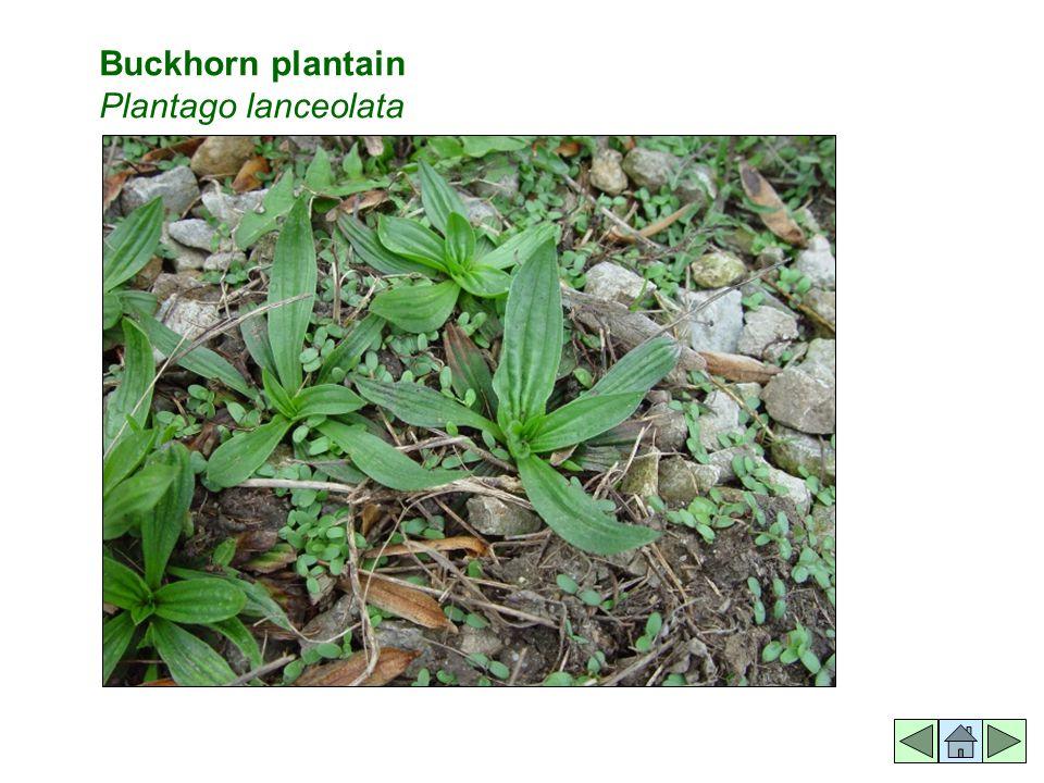 Buckhorn plantain Plantago lanceolata