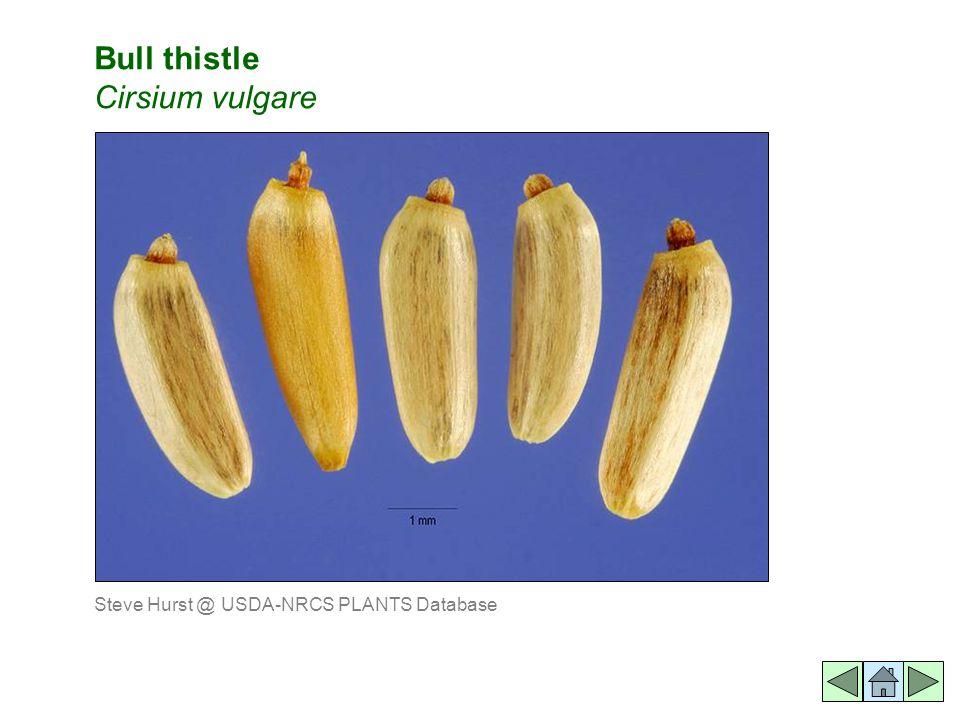 Bull thistle Cirsium vulgare Steve Hurst @ USDA-NRCS PLANTS Database