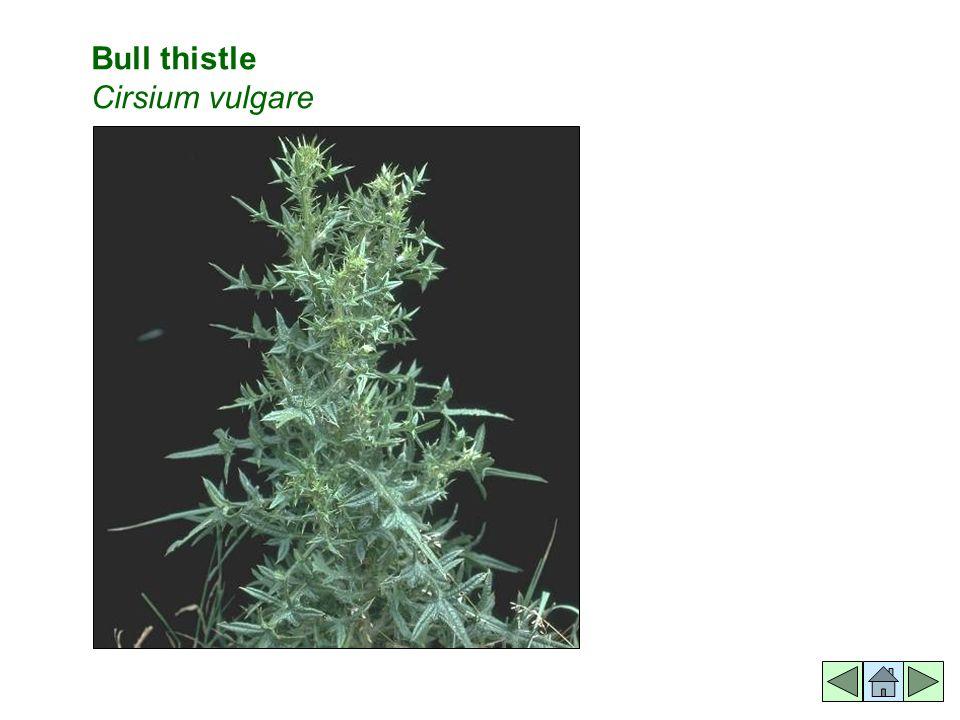 Bull thistle Cirsium vulgare