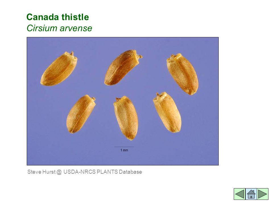 Canada thistle Cirsium arvense Steve Hurst @ USDA-NRCS PLANTS Database