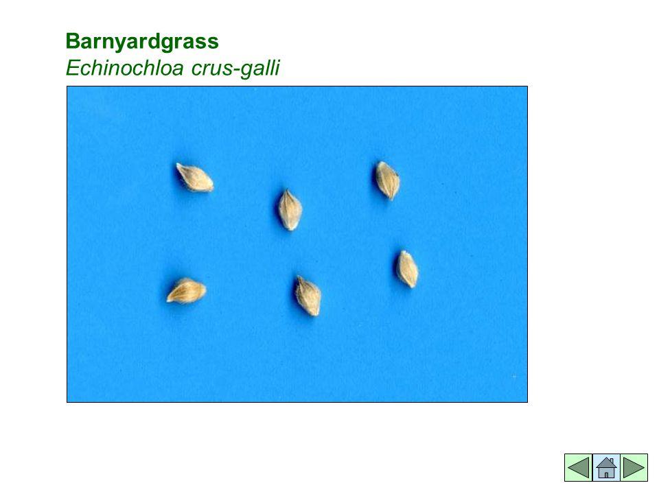 Barnyardgrass Echinochloa crus-galli