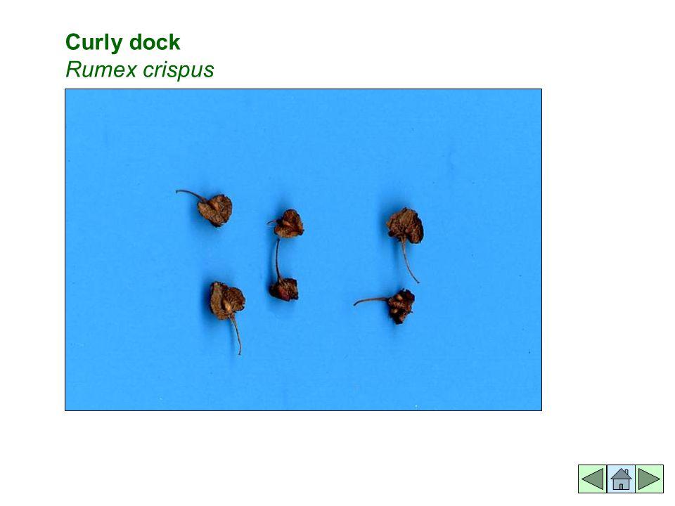 Curly dock Rumex crispus