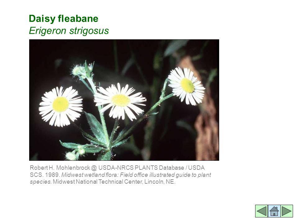 Daisy fleabane Erigeron strigosus Robert H. Mohlenbrock @ USDA-NRCS PLANTS Database / USDA SCS.