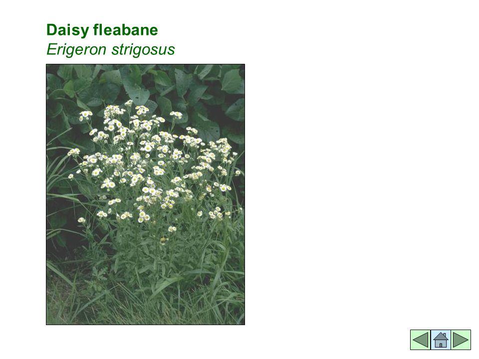Daisy fleabane Erigeron strigosus