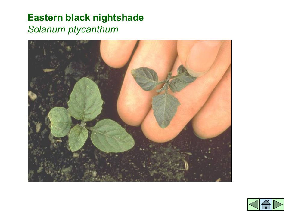 Eastern black nightshade Solanum ptycanthum
