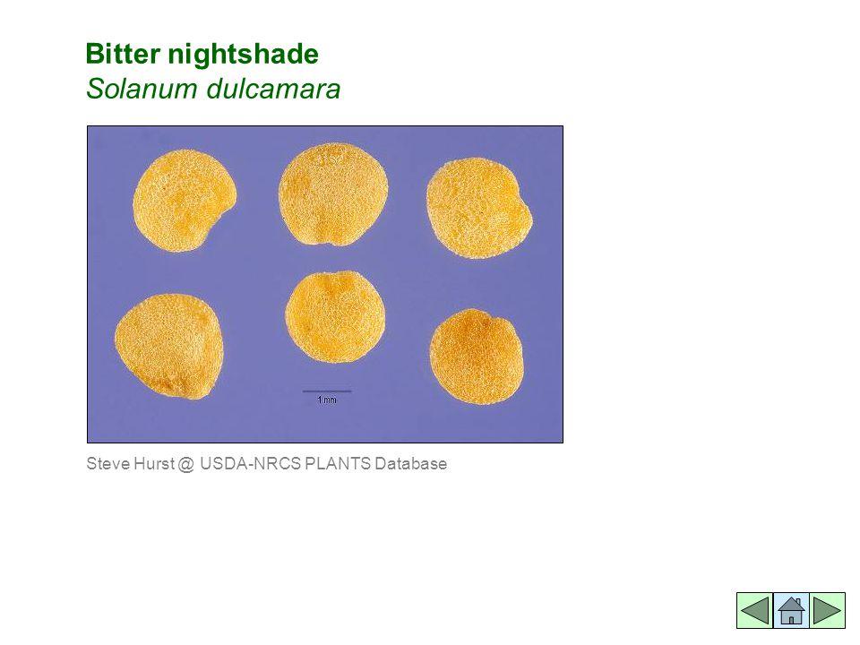 Bitter nightshade Solanum dulcamara Steve Hurst @ USDA-NRCS PLANTS Database