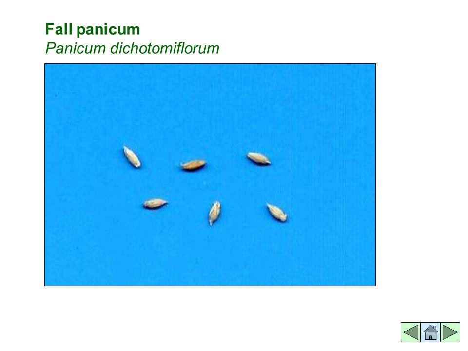 Fall panicum Panicum dichotomiflorum
