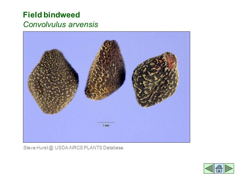 Field bindweed Convolvulus arvensis Steve Hurst @ USDA-NRCS PLANTS Database