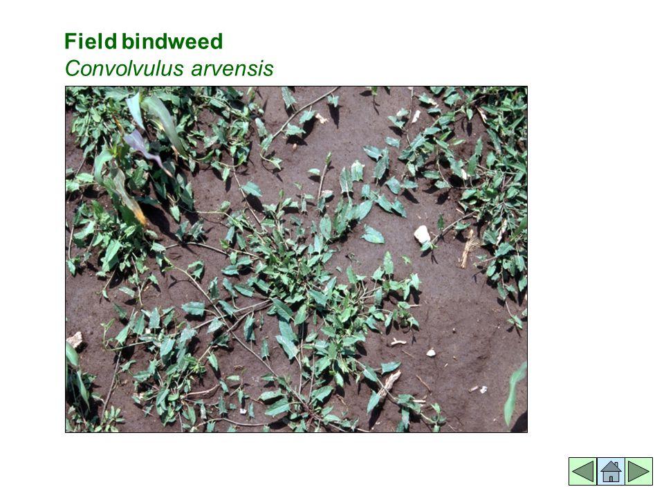 Field bindweed Convolvulus arvensis