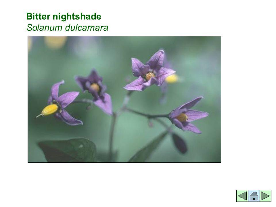 Bitter nightshade Solanum dulcamara