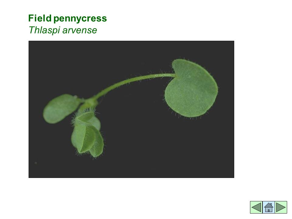 Field pennycress Thlaspi arvense