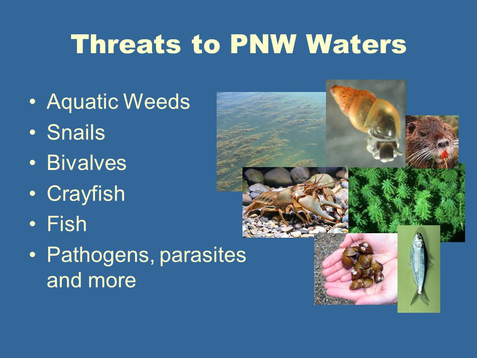 Threats to PNW Waters Aquatic Weeds Snails Bivalves Crayfish Fish Pathogens, parasites and more