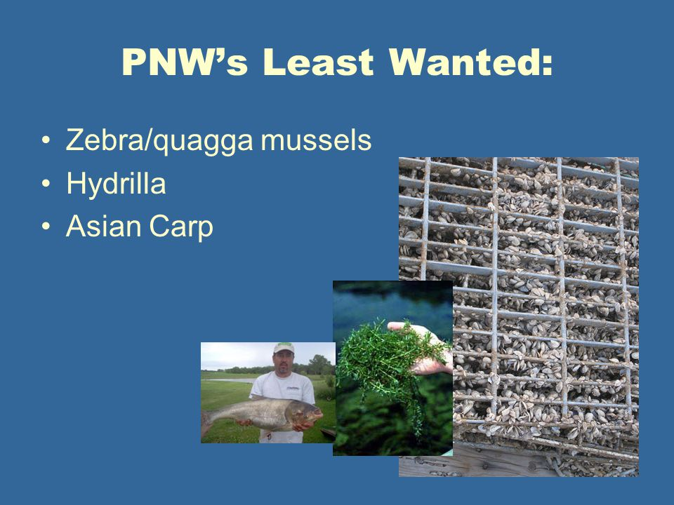 PNW's Least Wanted: Zebra/quagga mussels Hydrilla Asian Carp