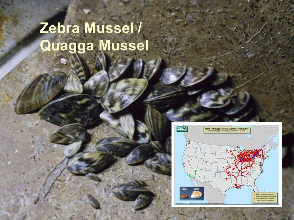 Zebra Mussel / Quagga Mussel