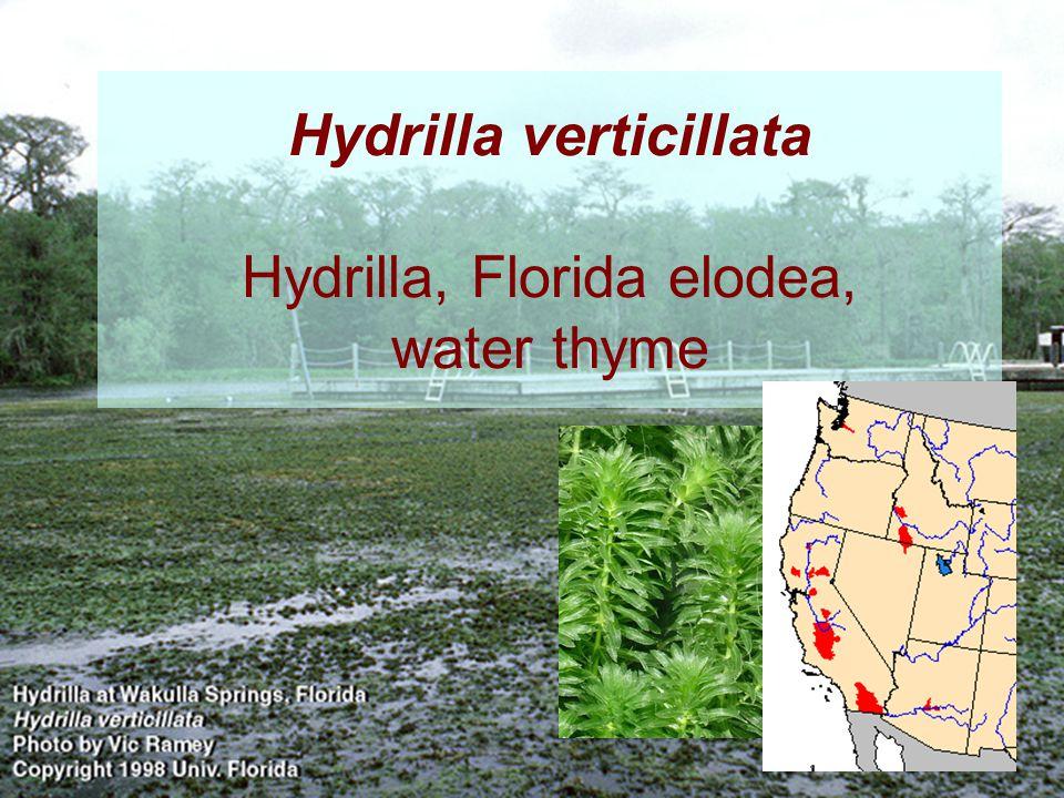 Hydrilla verticillata Hydrilla, Florida elodea, water thyme