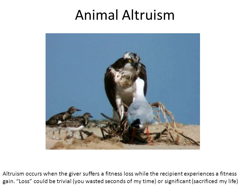"""Animal Altruism Altruism occurs when the giver suffers a fitness loss while the recipient experiences a fitness gain. """"Loss"""" could be trivial (you was"""