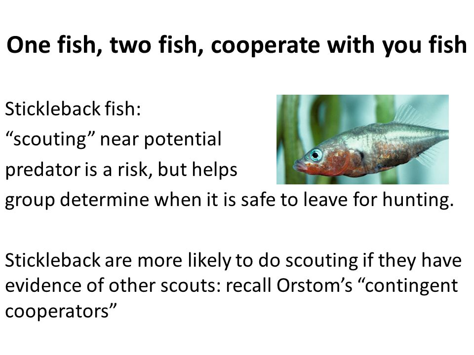 """One fish, two fish, cooperate with you fish Stickleback fish: """"scouting"""" near potential predator is a risk, but helps group determine when it is safe"""