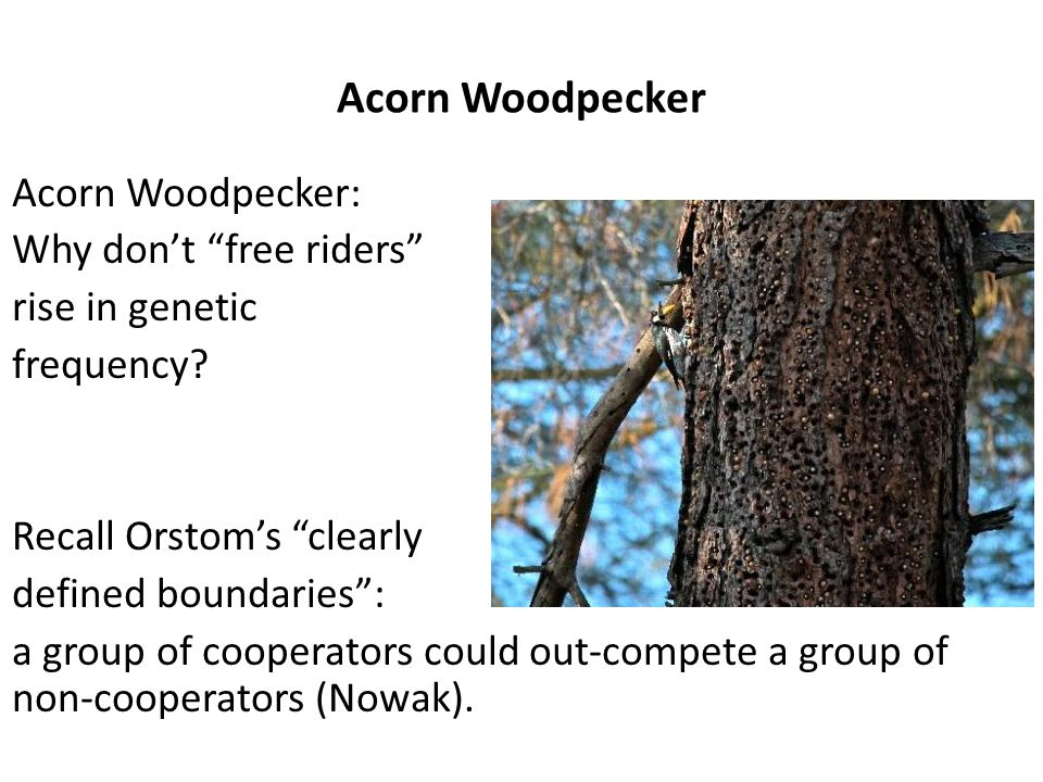 """Acorn Woodpecker Acorn Woodpecker: Why don't """"free riders"""" rise in genetic frequency? Recall Orstom's """"clearly defined boundaries"""": a group of coopera"""