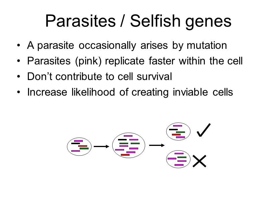 Parasites / Selfish genes A parasite occasionally arises by mutation Parasites (pink) replicate faster within the cell Don't contribute to cell survival Increase likelihood of creating inviable cells