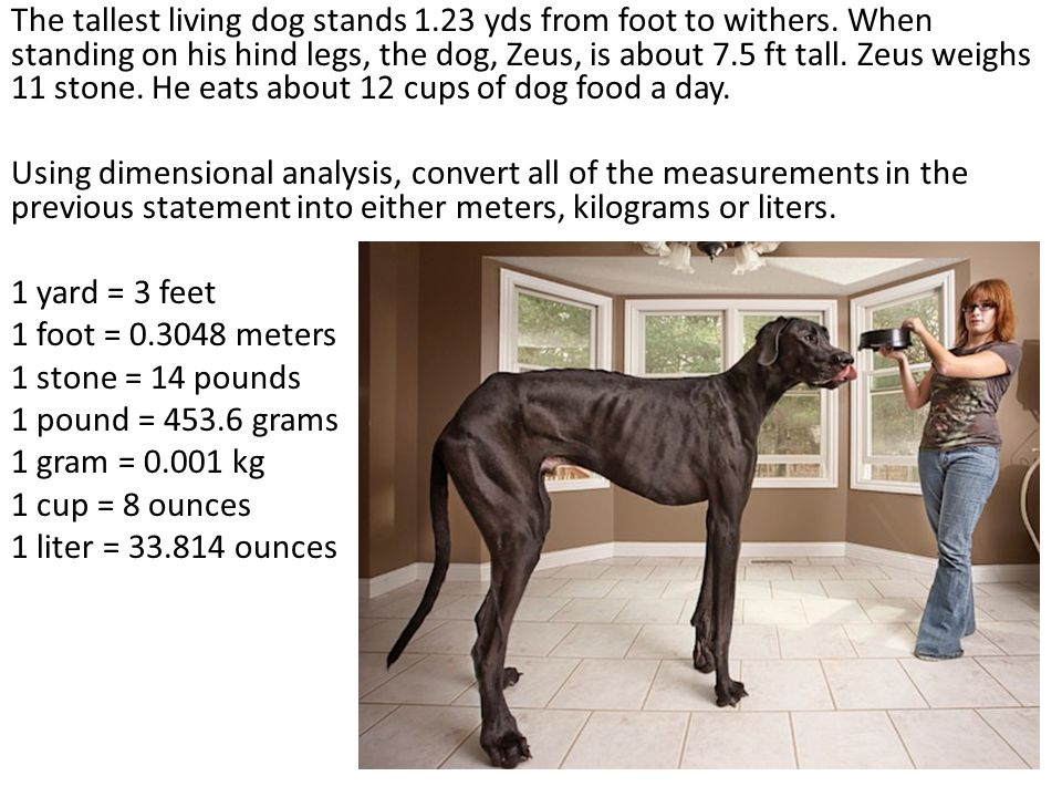 The tallest living dog stands 1.23 yds from foot to withers.