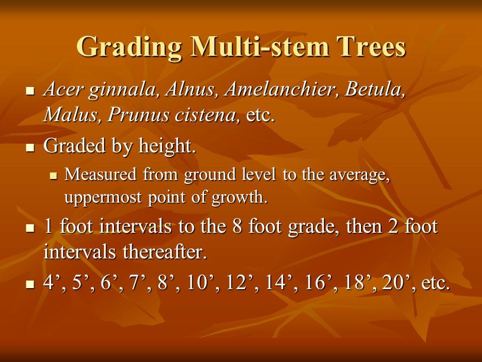 Grading Multi-stem Trees Acer ginnala, Alnus, Amelanchier, Betula, Malus, Prunus cistena, etc. Acer ginnala, Alnus, Amelanchier, Betula, Malus, Prunus