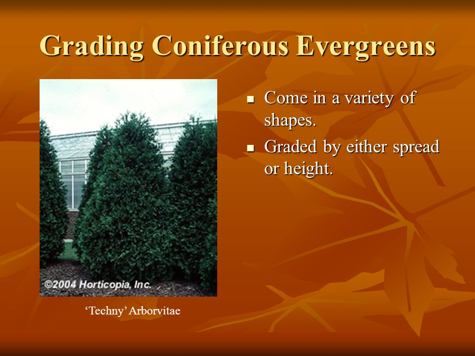 Grading Coniferous Evergreens Come in a variety of shapes.