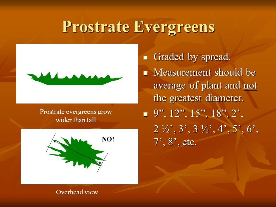 Prostrate Evergreens Graded by spread. Graded by spread.