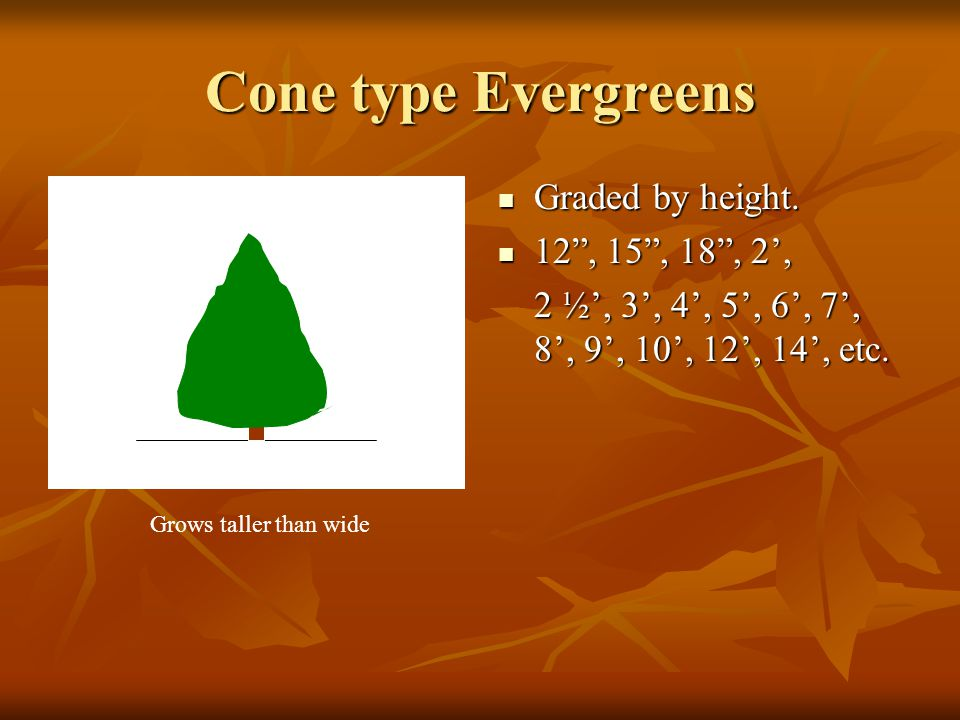 Cone type Evergreens Graded by height. Graded by height.