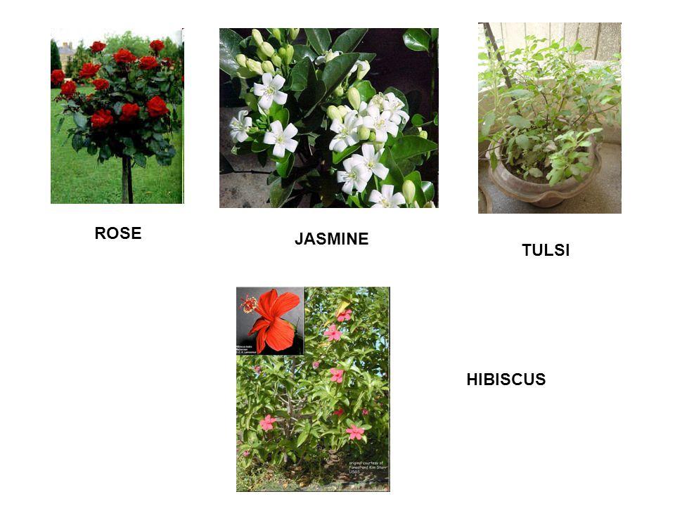 ROSE JASMINE TULSI HIBISCUS