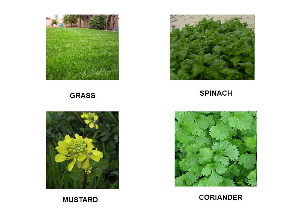 GRASS SPINACH MUSTARD CORIANDER