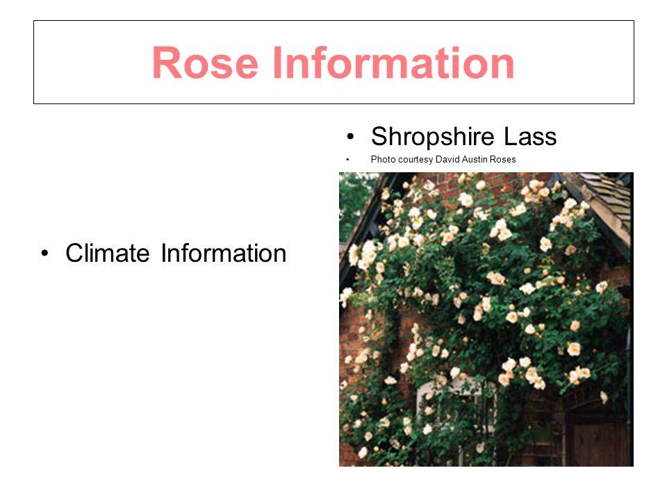Rose Information Climate Information Shropshire Lass Photo courtesy David Austin Roses