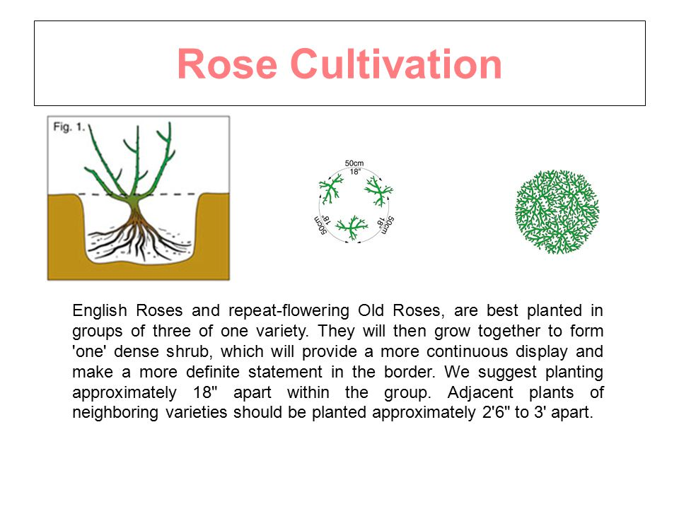 Rose Cultivation English Roses and repeat-flowering Old Roses, are best planted in groups of three of one variety.