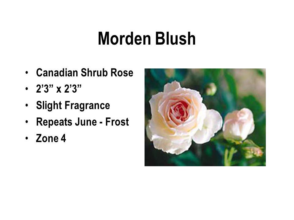 Morden Blush Canadian Shrub Rose 2'3 x 2'3 Slight Fragrance Repeats June - Frost Zone 4