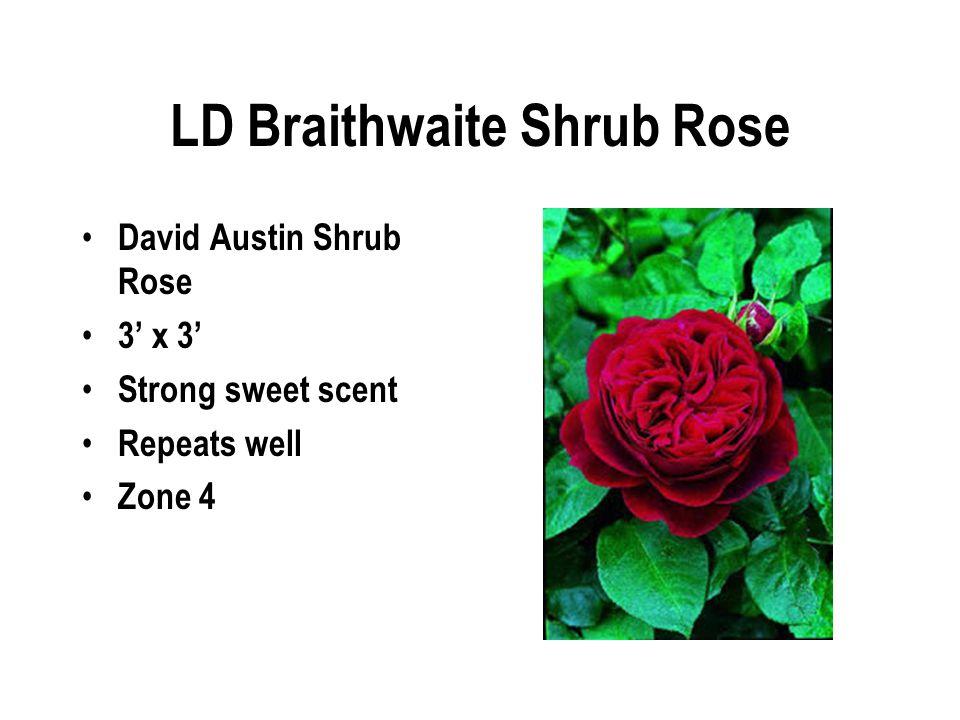 LD Braithwaite Shrub Rose David Austin Shrub Rose 3' x 3' Strong sweet scent Repeats well Zone 4