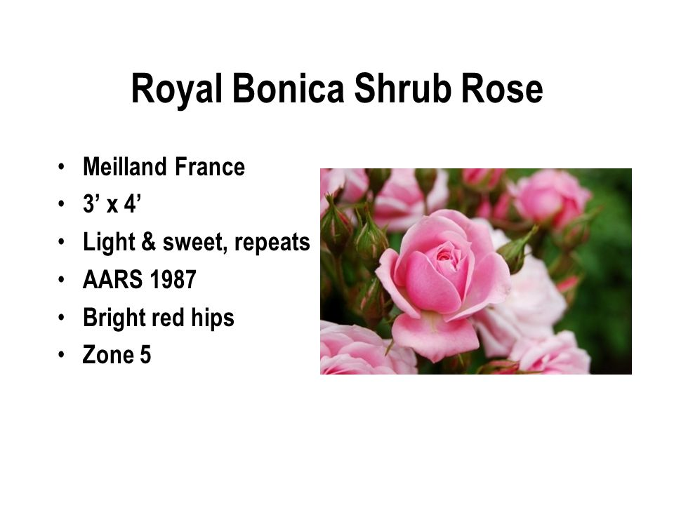 Royal Bonica Shrub Rose Meilland France 3' x 4' Light & sweet, repeats AARS 1987 Bright red hips Zone 5