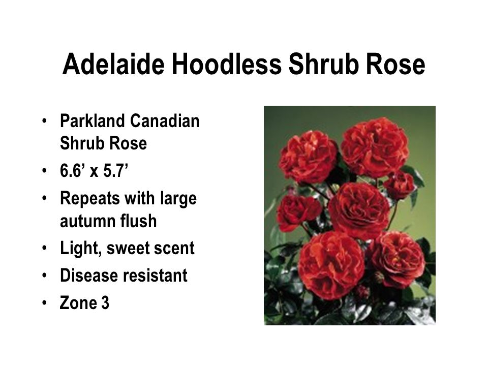 Adelaide Hoodless Shrub Rose Parkland Canadian Shrub Rose 6.6' x 5.7' Repeats with large autumn flush Light, sweet scent Disease resistant Zone 3