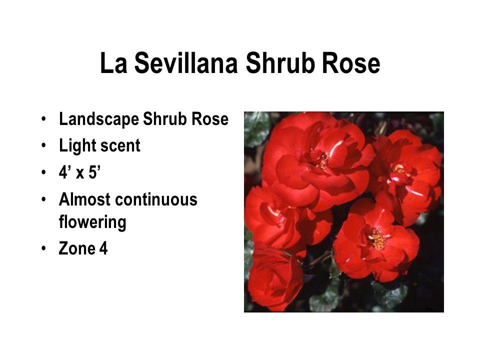 La Sevillana Shrub Rose Landscape Shrub Rose Light scent 4' x 5' Almost continuous flowering Zone 4