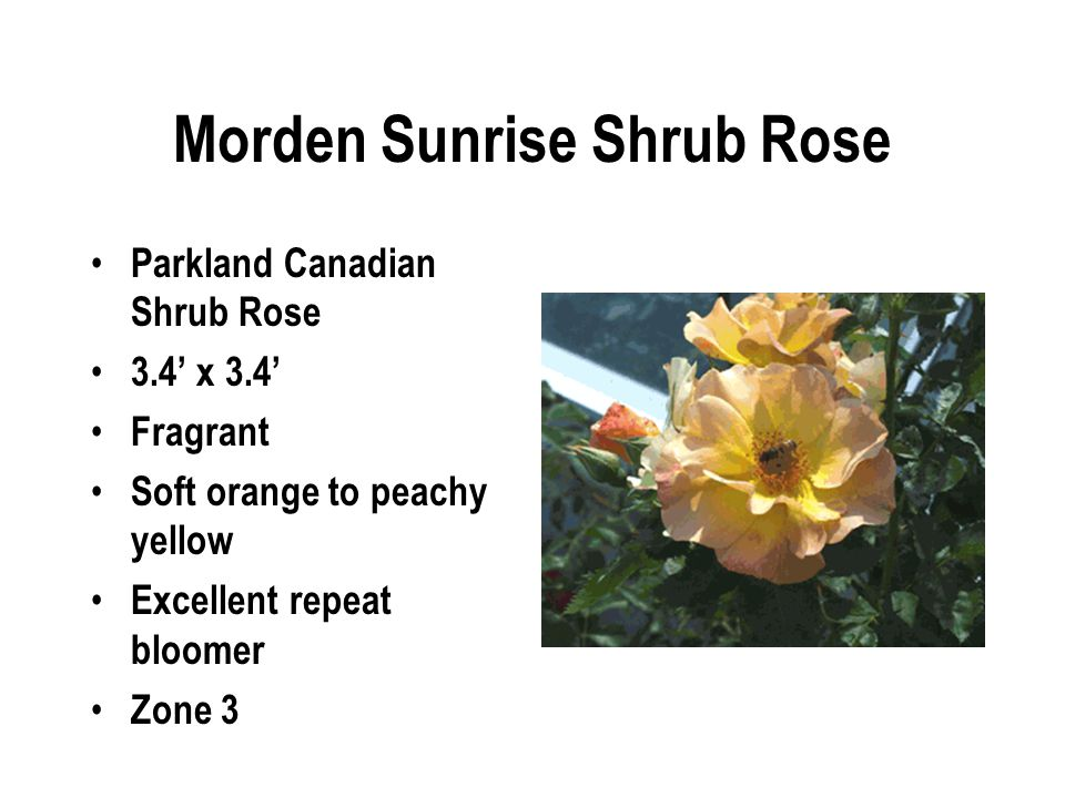 Morden Sunrise Shrub Rose Parkland Canadian Shrub Rose 3.4' x 3.4' Fragrant Soft orange to peachy yellow Excellent repeat bloomer Zone 3