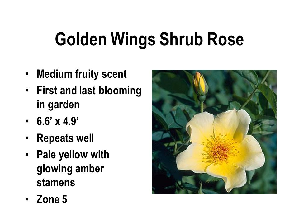 Golden Wings Shrub Rose Medium fruity scent First and last blooming in garden 6.6' x 4.9' Repeats well Pale yellow with glowing amber stamens Zone 5