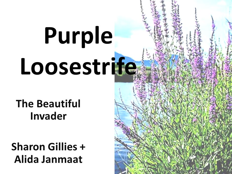 Purple Loosestrife What can we do to help.
